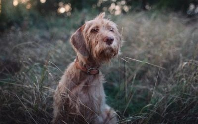 California: Protect Your Dog from Deadly Foxtails!