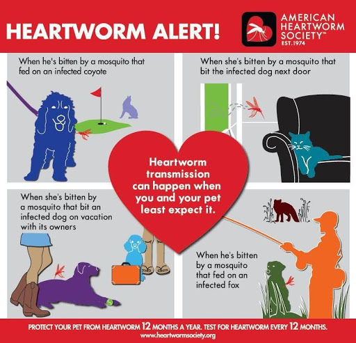 Heartworm transmission infographic